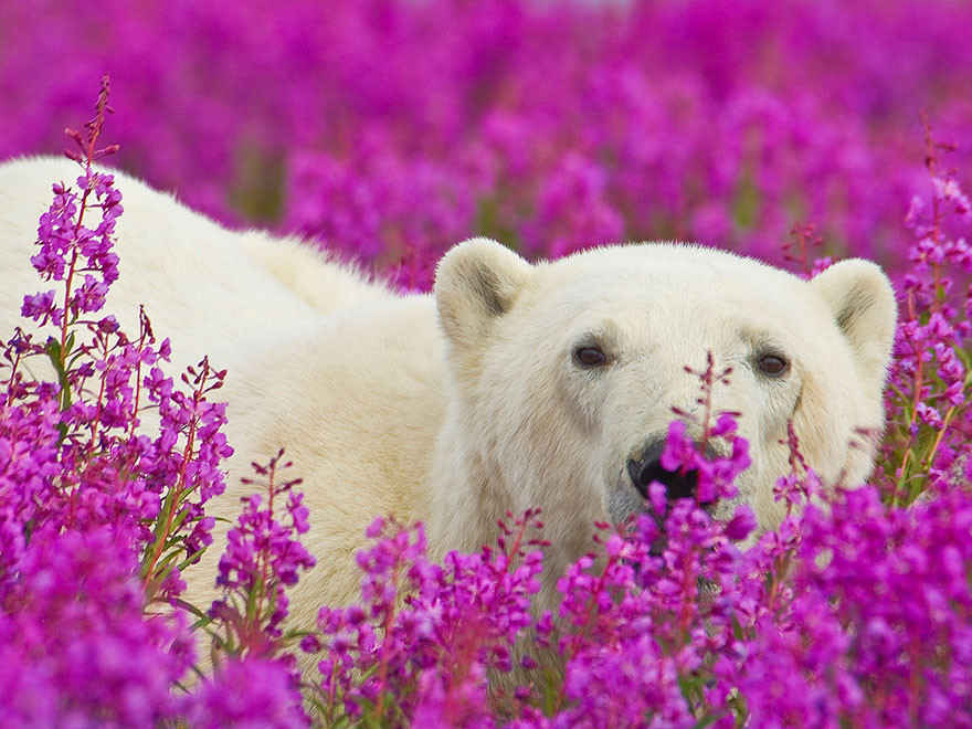 bear-in-ivan-chai-fields